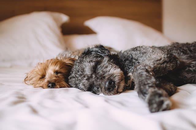 Na tropie psich snów, czyli słów kilka o tym, czy nasze psy śnią
