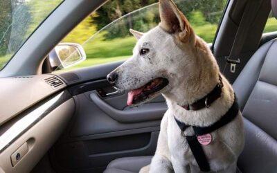 Pies zostawiony w samochodzie – nie rób tego!