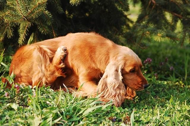 Czy częste drapanie się psa to powód do niepokoju?
