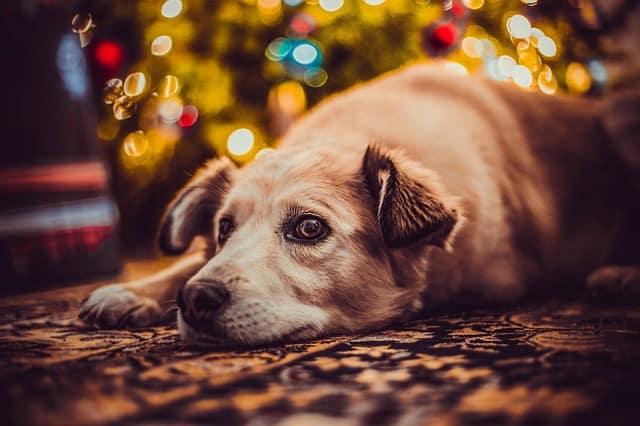 Dlaczego psy nie lubią świąt? Oto 5 najważniejszych powodów